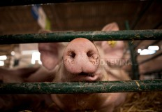 A close-up to the nose of a pig in a pigsty.