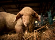 A beautiful little lamb is looking at the camera while it is in a stable on an animal farm.